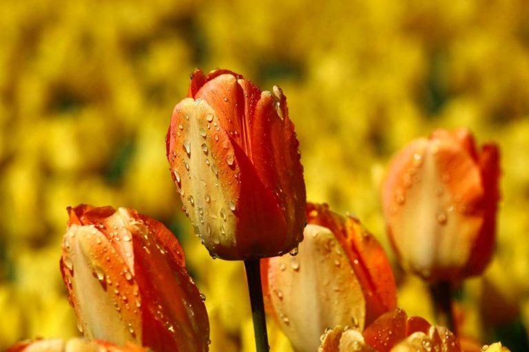 Früher waren Bitcoins Tulpen